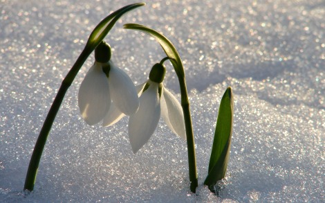 Snowdrops rising through snow