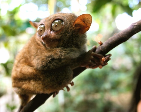 Endarged species: Tarsiers