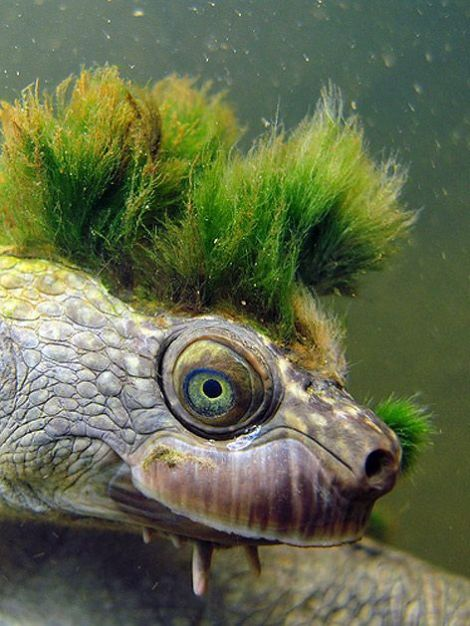 Punk-Rock Mary River Turtle